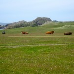 the Iona Golf Course on the Mhachair (yes, those are cows!)